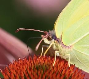Schmetterling3